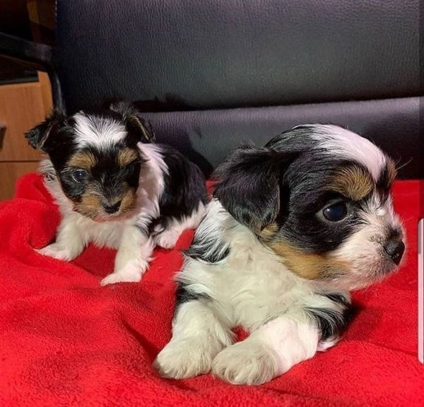 Male Shih Tzu Puppies For Sale
