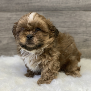 shih-tzu-puppies-for-sale-online