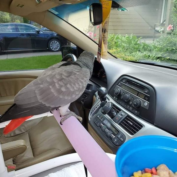 african-grey-parrots-for-sale (3)