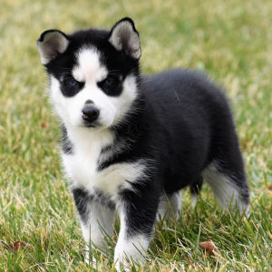 femal-husky-puppies-for-sale-ready (1)