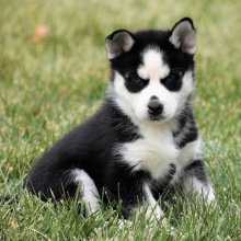 femal-husky-puppies-for-sale-ready (12)