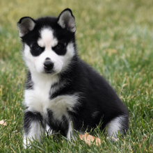femal-husky-puppies-for-sale-ready (3)
