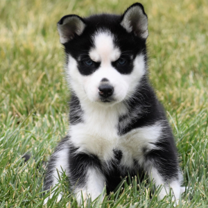 femal-husky-puppies-for-sale-ready (4)