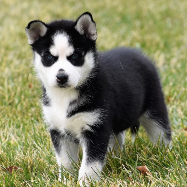 femal-husky-puppies-for-sale-ready (5)