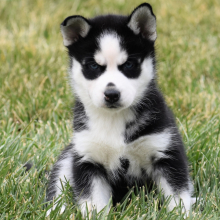 femal-husfemal-husky-puppies-for-sale-ready (12)ky-puppies-for-sale-ready