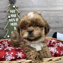 male-shih-tzu-puppy-for-sale (1)