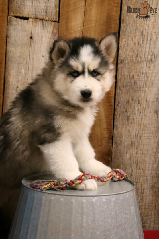 female-siberian-husky-10-weeks-old-2-