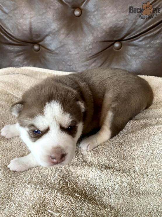 siberian-husky-6-weeks-old-