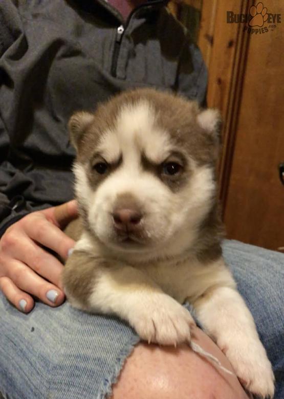 siberian-husky-6-weeks-old