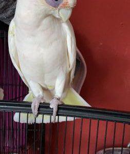 umbrella-cockatoo-for-sale